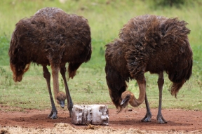 South African ostrich (S. c. australis), Rhino and Lion Nature Reserve, South Africa