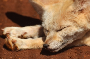 Fennec fox or fennec (Vulpes zerda), Rhino and Lion Nature Reserve, South Africa