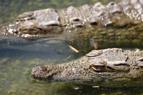 Crocodiles at Reptile Park, Rhino and Lion Nature Reserve, South Africa