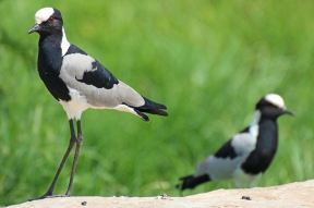 Blacksmith lapwing or blacksmith plover (Vanellus armatus), Rhino and Lion Nature Reserve, South Africa
