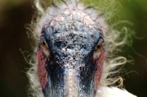 Marabou stork (Leptoptilos crumenifer), Rhino and Lion Nature Reserve, South Africa