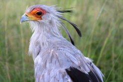 Secretarybird or secretary bird (Sagittarius serpentarius), Rhino and Lion Nature Reserve, South Africa