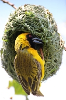 Southern masked weaver or African masked weaver (Ploceus velatus), Rhino and Lion Nature Reserve, South Africa