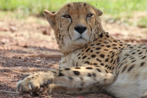 South African cheetah (Acinonyx jubatus jubatus), Rhino and Lion Nature Reserve, South Africa