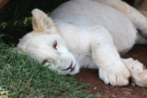 White Lion cub, Rhino and Lion Nature Reserve, South Africa