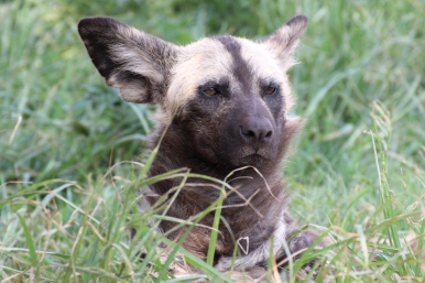 African wild dog (Lycaon pictus), Rhino and Lion Nature Reserve, South Africa