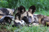 African wild dogs (Lycaon pictus), Rhino and Lion Nature Reserve, South Africa