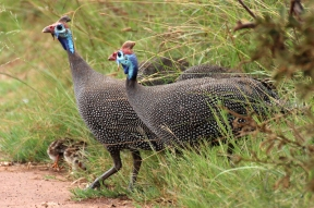 Helmeted guineafowl (Numida meleagris), Rhino and Lion Nature Reserve, South Africa