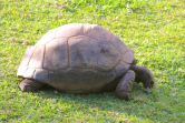 Giant Turtle at Labourdonnais Gardens and Orchards