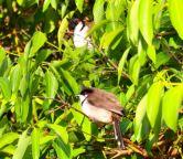 Red whiskered bulbul (Pycnonotus jucosus)